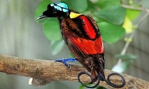 Loài chim thiên đường đẹp nhất thế giới