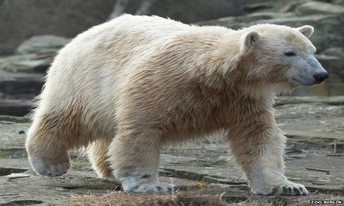 VNE-Knut-polar-bear-death-ridd-5581-9184