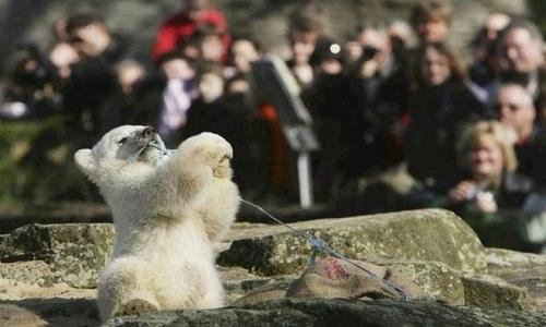 VNE-Knut-polar-bear-death-ridd-6123-8619