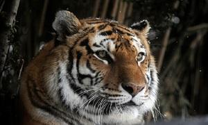 Những động vật quý hiếm ở miền Viễn Đông nước Nga
