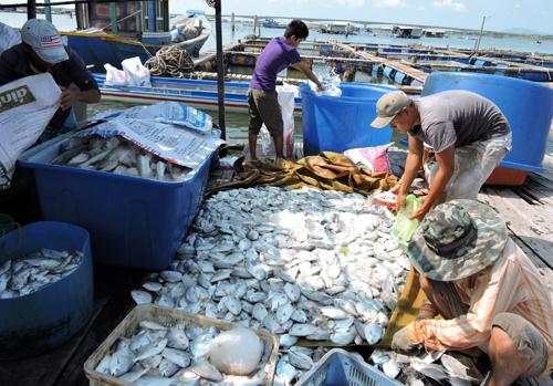 Người dân cho rằng cá nuôi lồng bè trên sông Chà Và chết trắng do các nhà máy xả thải gây ô nhiễm. Ảnh: Xuân Thắng.