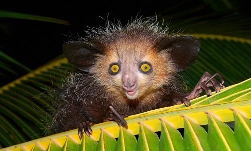 VNE-Japanese-Lemur-Making-6-00-8729-7100