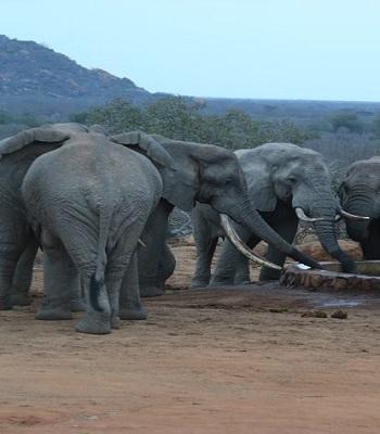 VNE-Desperate-Elephants-Shot-W-6525-5431