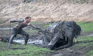 Hướng dẫn viên mạo hiểm cứu voi con sa lầy