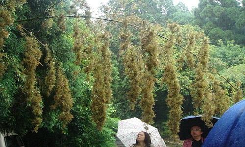 VNE-Bamboo-Flowering-3-3837-1443844729.j