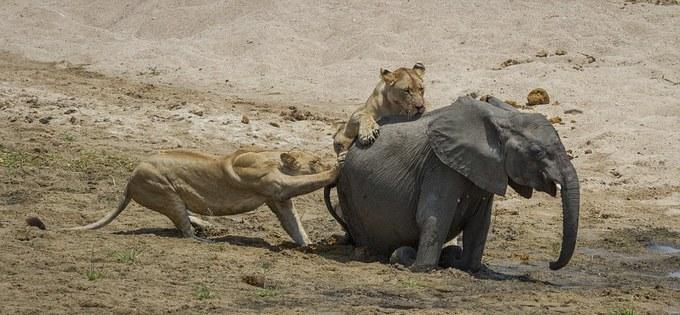Voi con lạc mẹ bị sư tử xé xác