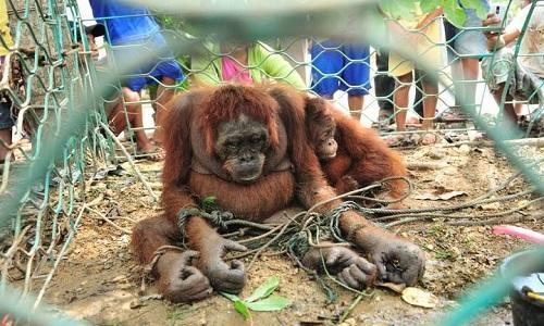 VNE-Orangutan-1-6227-1444125237.jpg