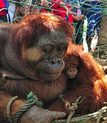 VNE-Orangutan-2-8340-1444125237.jpg