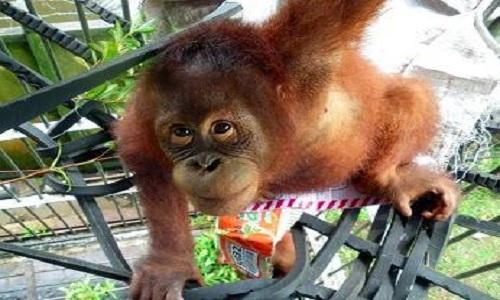 VNE-Orangutan-3-4948-1444125237.jpg