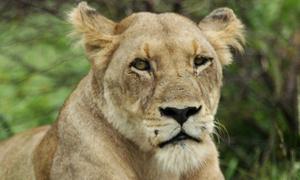 Xẻ thịt sư tử, vườn thú Đan Mạch gây tranh cãi