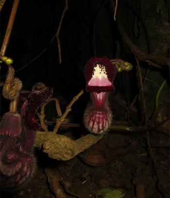 nh 1: Hình thái bao hoa của Aristolochia faviogonzalezii (Ảnh: Nghiêm Đức Trọng)