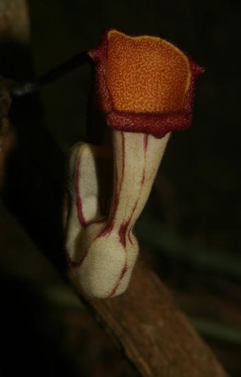 Hình 2: Hình thái bao hoa của Aristolochia tadungensis (Ảnh: Lưu Hồng Trường)