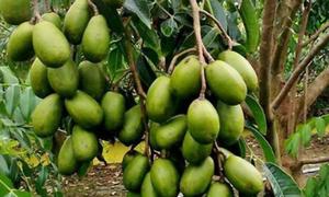 Mùa thu hoạch trái cóc của người miền Tây