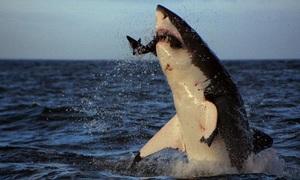 Cá mập đói ăn do biến đổi khí hậu