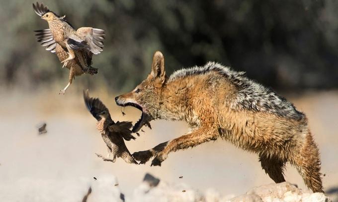 Chó rừng giở tuyệt kỹ phi thân vẫn vồ hụt chim bay