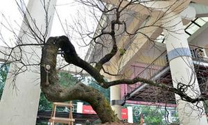 'Cây đào rừng Sapa thế rồng bay, giá hơn 600 triệu' dậy sóng mạng XH