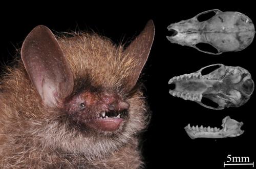 Ảnh chụp và hình thái sọ của loài Murina kontumensis sp. nov. (holotype, IEBR-M5697)
