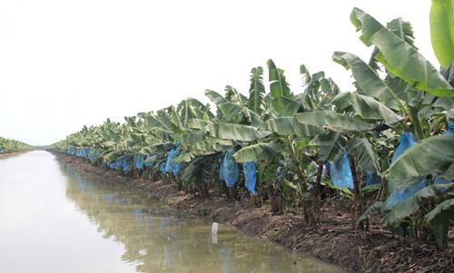 Vườn chuối 90 ha của nông dân miền Tây trị giá hàng chục tỷ đồng sắp thu hoạch, được bao tiêu trọn gói. Ảnh: Cửu Long