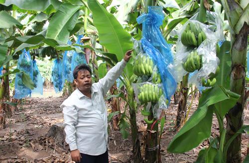 Vườn chuối có kỹ sư nông nghiệp đảm trách kỹ thuật trồng, chăm sóc, thu hoạch... Ảnh: Cửu Long
