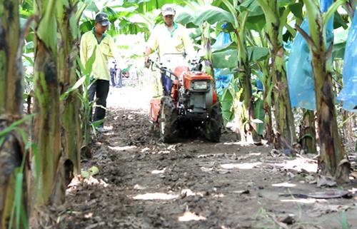 Xới đất vườn chuối bằng máy để bón phân và tưới nước dạt hiệu quả cao, tiết kiệm nhân công. Ảnh: Cửu Long