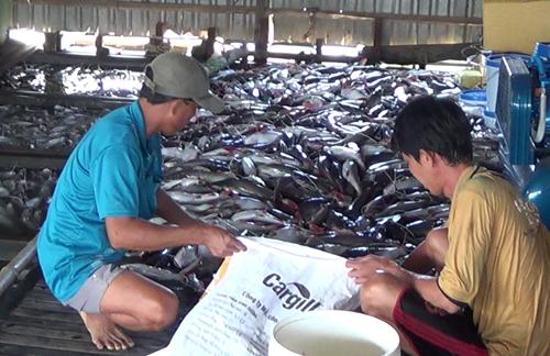 2 ngày qua, hàng trăm bè cá của người dân nuôi trên sông Cái Vừng bỗng dưng chết hàng loạt. Ảnh: A.X
