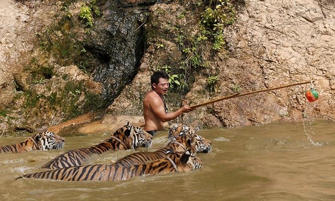 Đền hổ ở Thái Lan bị điều tra buôn bán động vật hoang dã