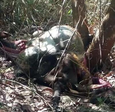 Cá thể bò tót chết được phát hiện tại xã Mã Đà, huyện Vĩnh Cửu. Ảnh: Báo Đồng Nai