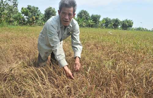 Đến nay có gần 140.000 ha lúa đông xuân ở miền Tây bị thiệt hại do hạn hán, xâm nhập mặn. Ảnh: A.X