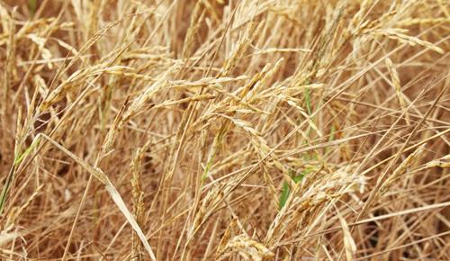 Hàng trăm ngàn ha lúa ở miền Tây bị cơn thiên tai lịch sử tàn phá. Ảnh: Cửu Long