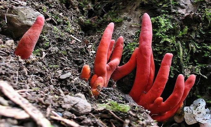 Những loại nấm độc nguy hiểm nhất thế giới