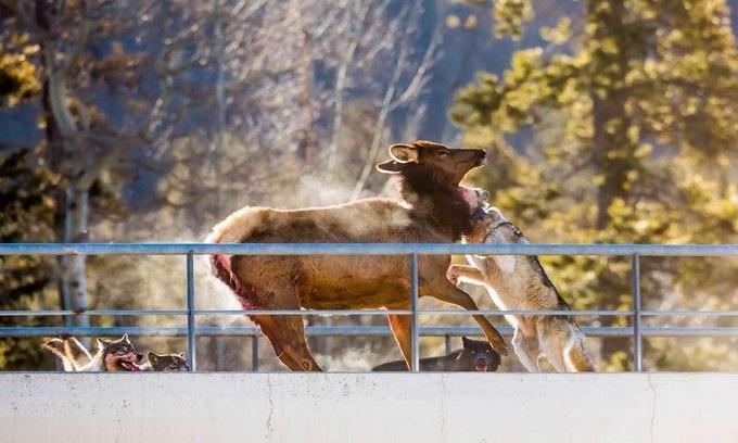 Đàn sói xé xác nai sừng tấm ngay trên đường cao tốc Canada