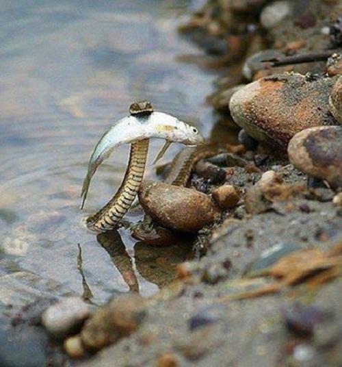 Cảm động câu chuyện chú rắn cứu bạn cá khỏi chết đuối.