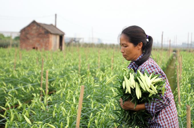 Mùa hoa loa kèn ở Hà Nội