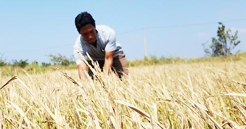 Hạn hán, xâm nhập mặn nghiêm trọng ở miền Tây, làm hàng trăm ngàn ha lúa bị thiệt hại; chuyên gia xác định ngoài biến đổn khí hậu, các đập thủy điện ở Trung Quốc, Lào, Campuchia không thể ngoài cuộc. Ảnh: Cửu Long