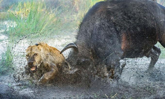 Trâu rừng phản đòn húc sư tử đến chết