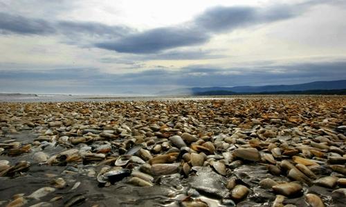 Ngao chết trên đảo Chiloe, Chile. Ảnh: AFP.
