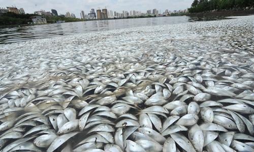 30 tấn cá trích vảy xanh chết ở Trung Quốc. Ảnh: news.hainan.net