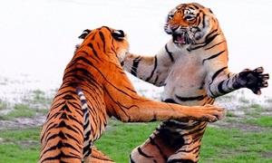 Giao đấu tay đôi, mãnh hổ phô thế kung fu đẹp mắt