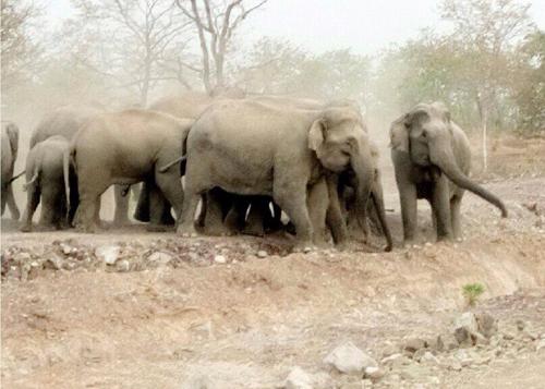 Đàn voi rừng tràn ra khu dân cư tàn phá hoa màu của người dân. Ảnh: Kh. Uyên