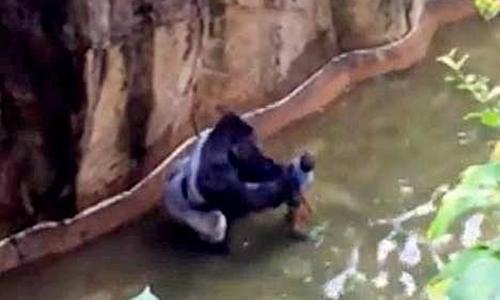Nhân chứng nói con khỉ đột Harambe đã cố gắng cứu cậu bé ba tuổi. Ảnh: NBC News
