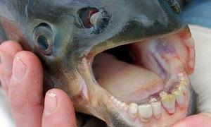 Cá ăn tinh hoàn lạc từ sông Amazon đến California