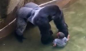 Quá khứ đau buồn của chú khỉ đột bị vườn thú Mỹ bắn chết