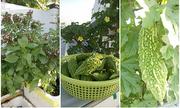 Vườn rau tươi tốt trên sân thượng của vợ chồng trẻ ở TP HCM