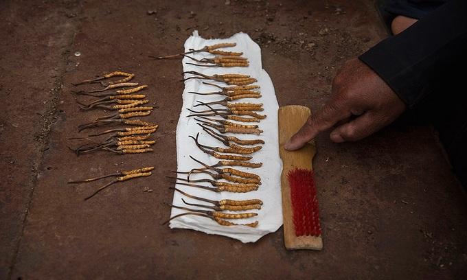 Săn tìm đông trùng hạ thảo trên cao nguyên Tây Tạng