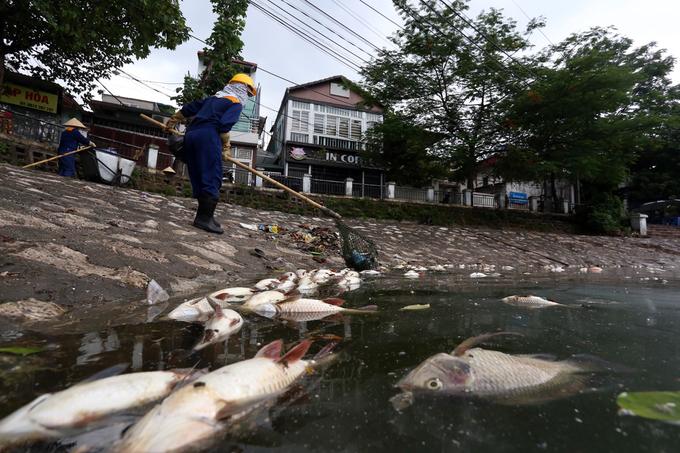 Cá chết nổi trắng hồ ở Hà Nội