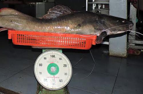 Con cá lăng gần 50 kg. Ảnh: Thiên Thiên