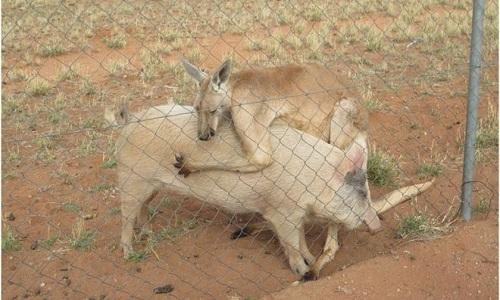 kangaroo-giao-phoi-voi-lon-cai-suot-hon-mot-nam