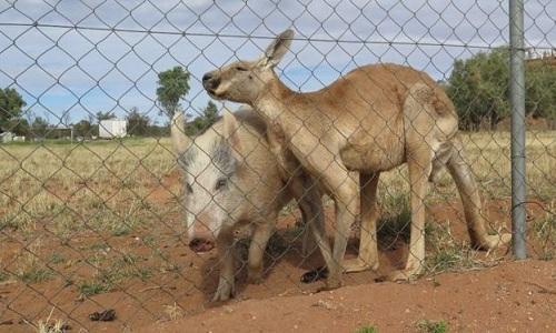 kangaroo-giao-phoi-voi-lon-cai-suot-hon-mot-nam-1
