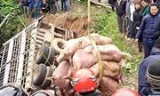Cẩu hàng chục con lợn rơi xuống vực sâu từ xe tải lật