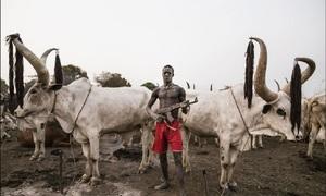 Bộ tộc sẵn sàng bỏ mạng vì đàn bò